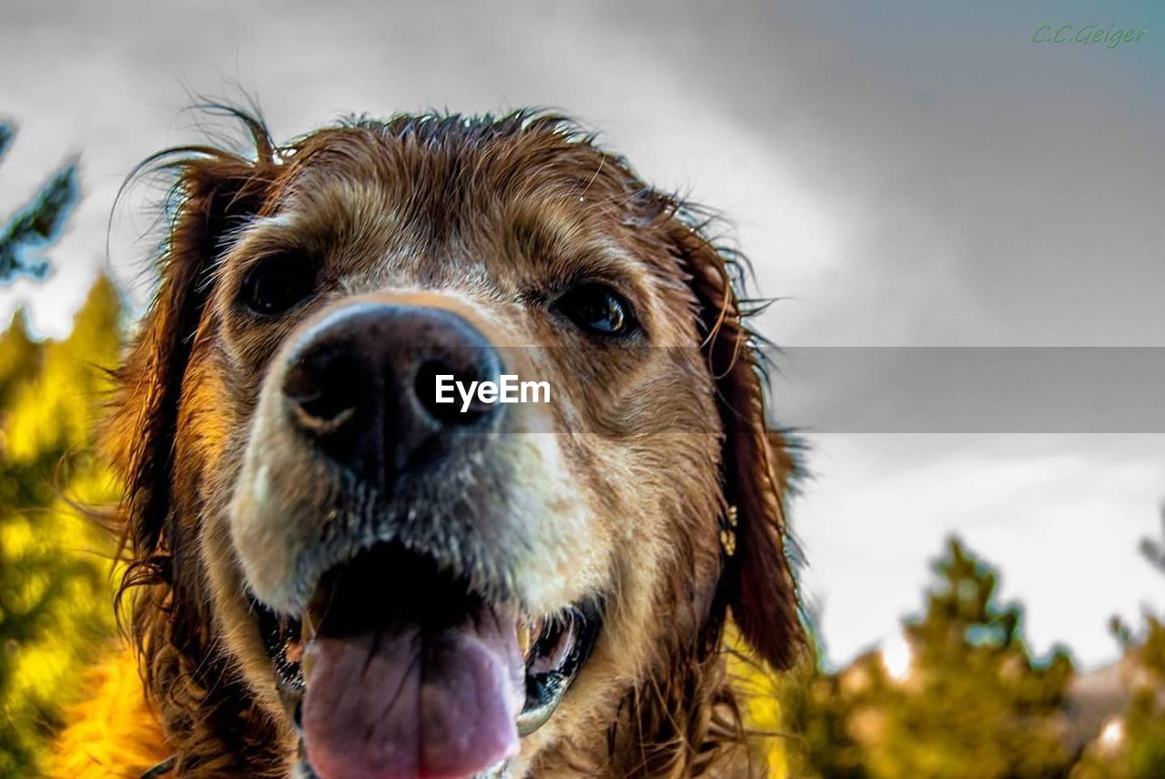 one animal, domestic, animal themes, mammal, dog, canine, pets, domestic animals, animal, animal body part, close-up, vertebrate, sky, portrait, animal head, no people, looking at camera, focus on foreground, day, cloud - sky, snout, animal nose, mouth open, animal mouth