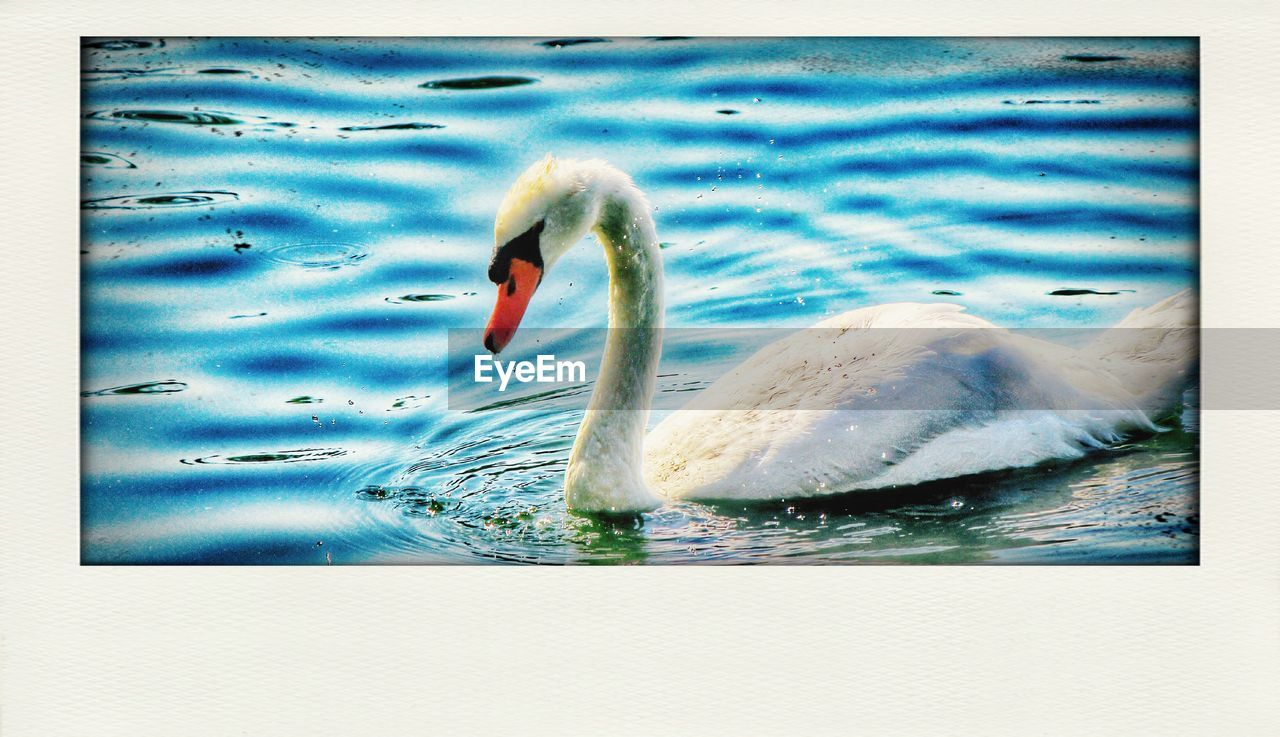 lake, water, animal themes, animals in the wild, swan, one animal, swimming, bird, day, rippled, no people, outdoors, water bird, nature, floating on water, close-up