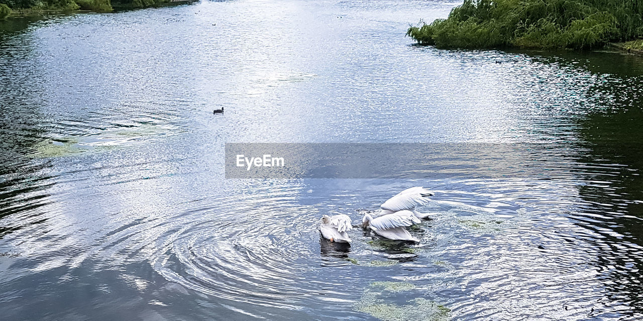 water, animals in the wild, lake, animal themes, nature, high angle view, day, one animal, waterfront, animal wildlife, bird, swan, outdoors, swimming, no people, beauty in nature