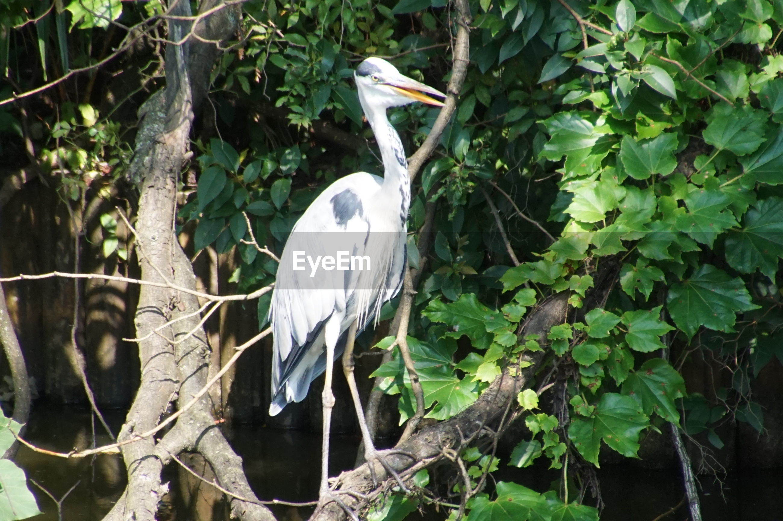 WHITE HERON PERCHING ON TREE