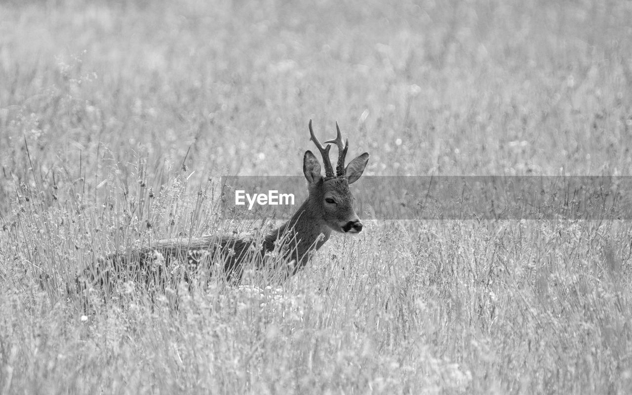 field, one animal, grass, animals in the wild, deer, animal themes, nature, animal wildlife, antler, no people, day, outdoors, mammal, stag, close-up