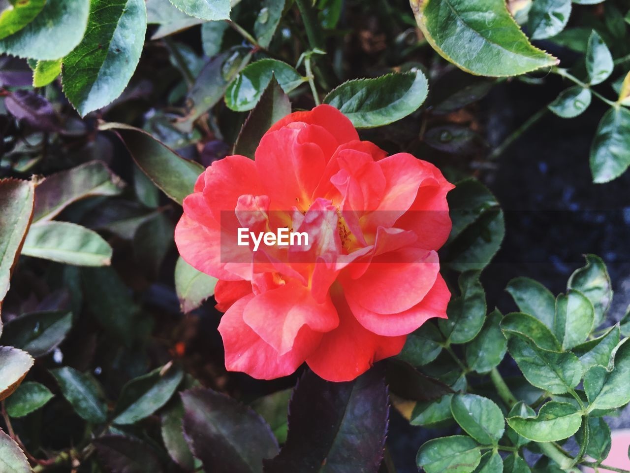 flower, petal, nature, beauty in nature, flower head, growth, leaf, plant, fragility, outdoors, day, high angle view, no people, pink color, green color, blooming, red, wild rose, freshness, close-up