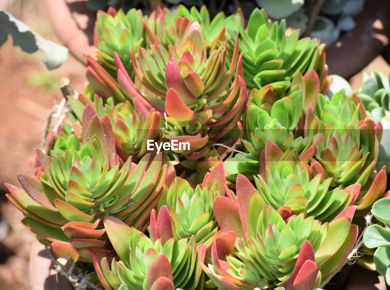 freshness, close-up, beauty in nature, succulent plant, focus on foreground, plant, flower, day, green color, flowering plant, growth, vulnerability, retail, fragility, nature, cactus, high angle view, flower head, incidental people, for sale, outdoors, retail display