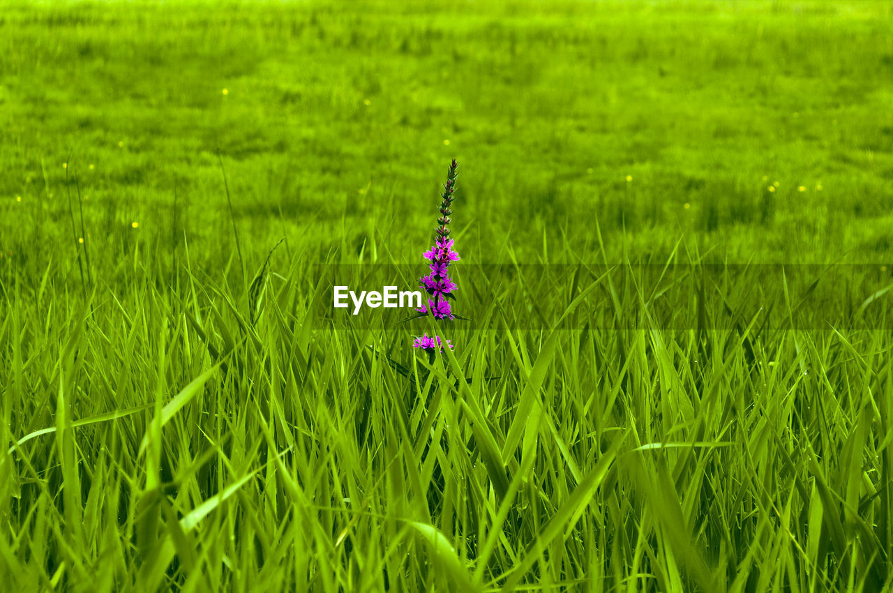 grass, green color, field, growth, nature, day, no people, plant, outdoors, beauty in nature