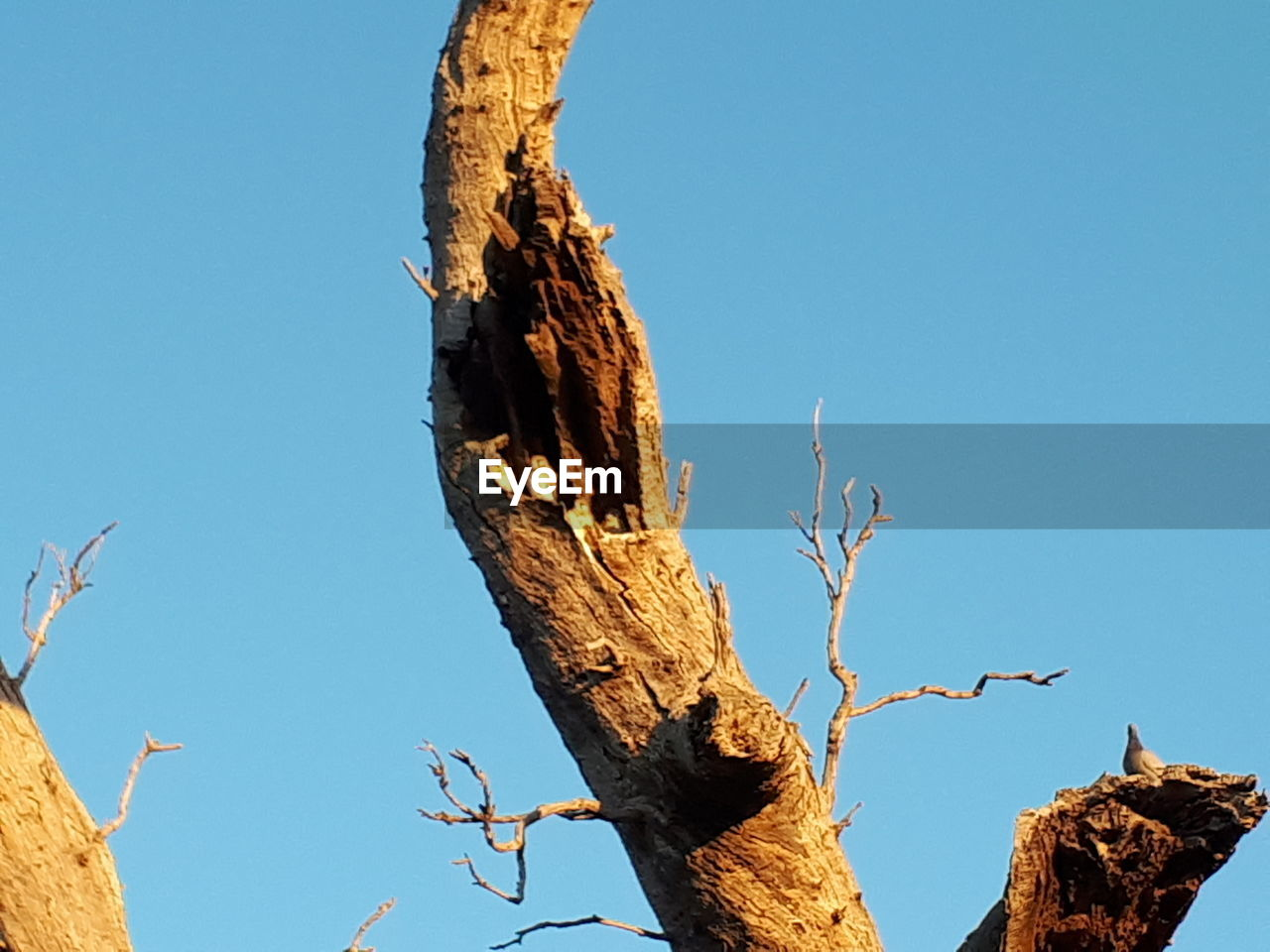 clear sky, low angle view, tree, day, tree trunk, blue, no people, dead plant, nature, branch, sunlight, outdoors, animals in the wild, dead tree, animal themes, perching, sky, close-up