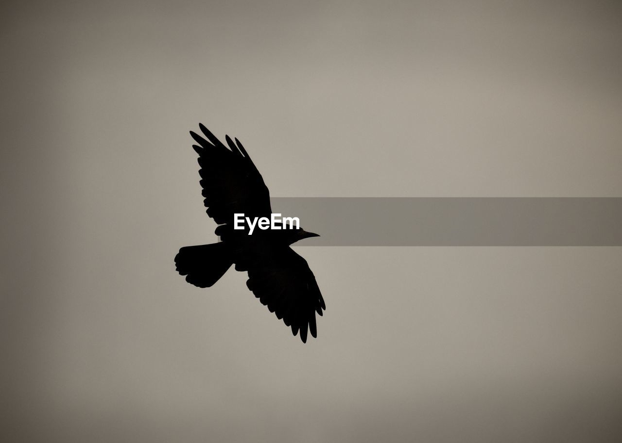 flying, vertebrate, bird, animals in the wild, animal wildlife, spread wings, animal, animal themes, sky, one animal, low angle view, mid-air, no people, nature, silhouette, clear sky, motion, outdoors, bird of prey, beauty in nature, eagle