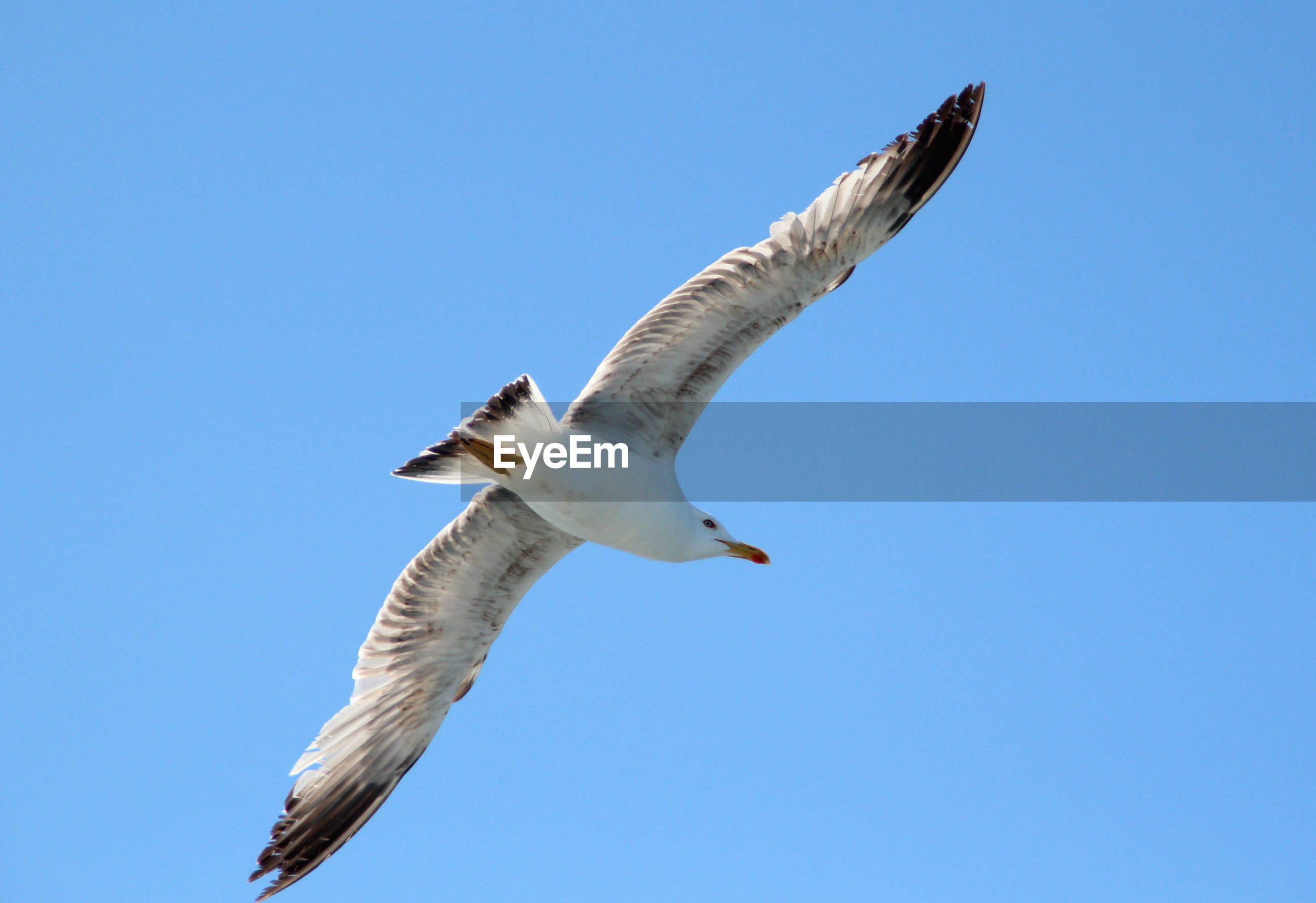 LOW ANGLE VIEW OF SEAGULL FLYING IN CLEAR SKY
