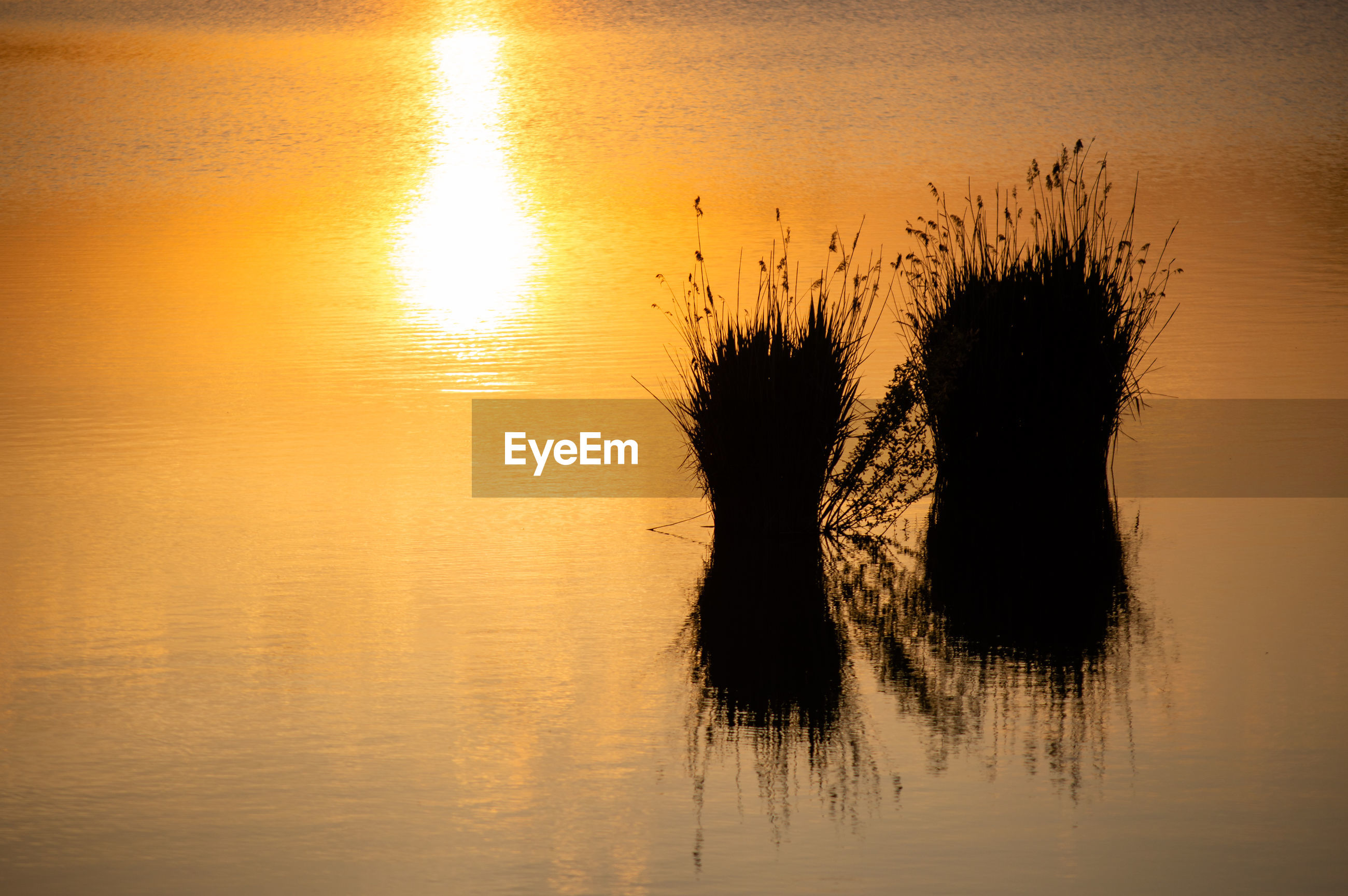 Silhouette plants in lake during sunset