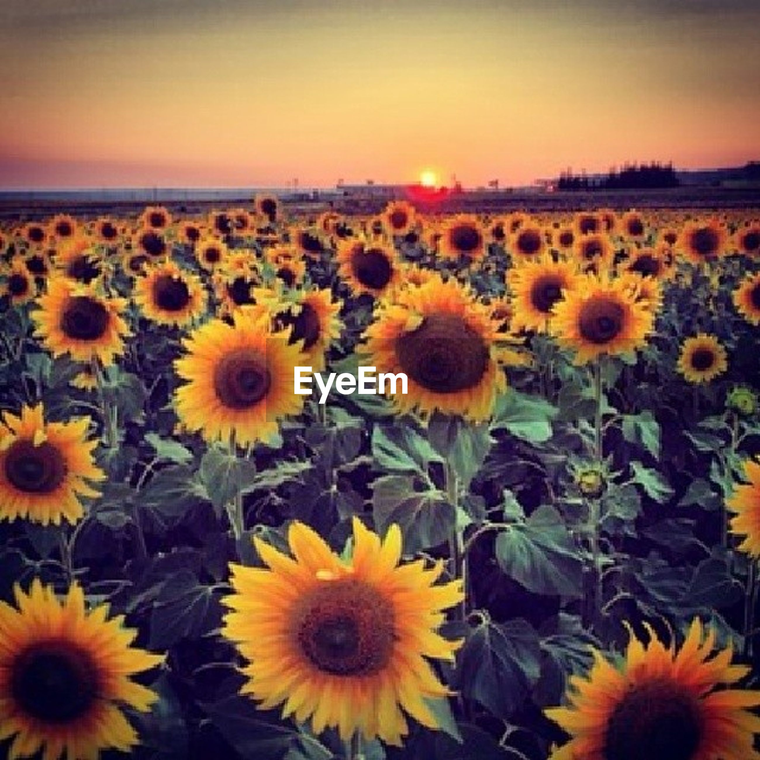 flower, yellow, freshness, sunflower, growth, beauty in nature, fragility, petal, flower head, field, nature, blooming, plant, rural scene, agriculture, abundance, landscape, tranquil scene, sky, tranquility