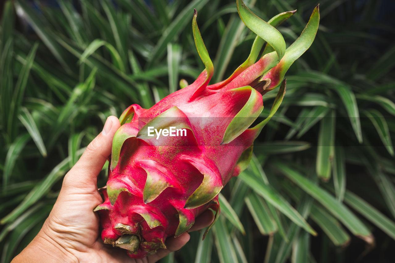 Dragonfruit- red dragonfruit