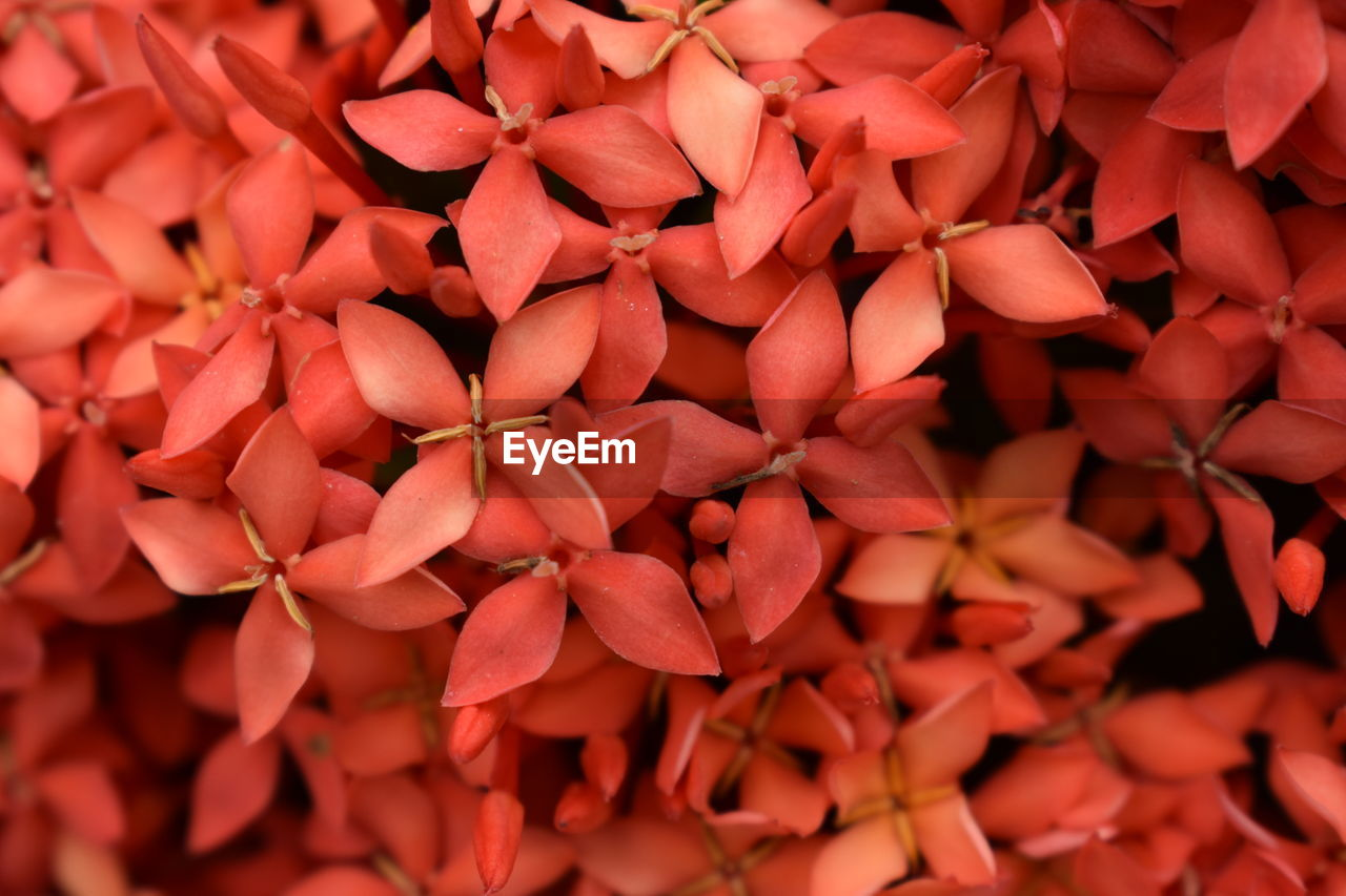 red, full frame, petal, backgrounds, flower, ixora, freshness, abundance, no people, flower head, close-up, nature, fragility, day, beauty in nature, outdoors