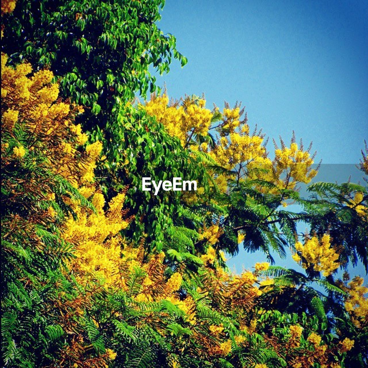 nature, tree, growth, clear sky, beauty in nature, yellow, no people, day, outdoors, autumn, forest, sky