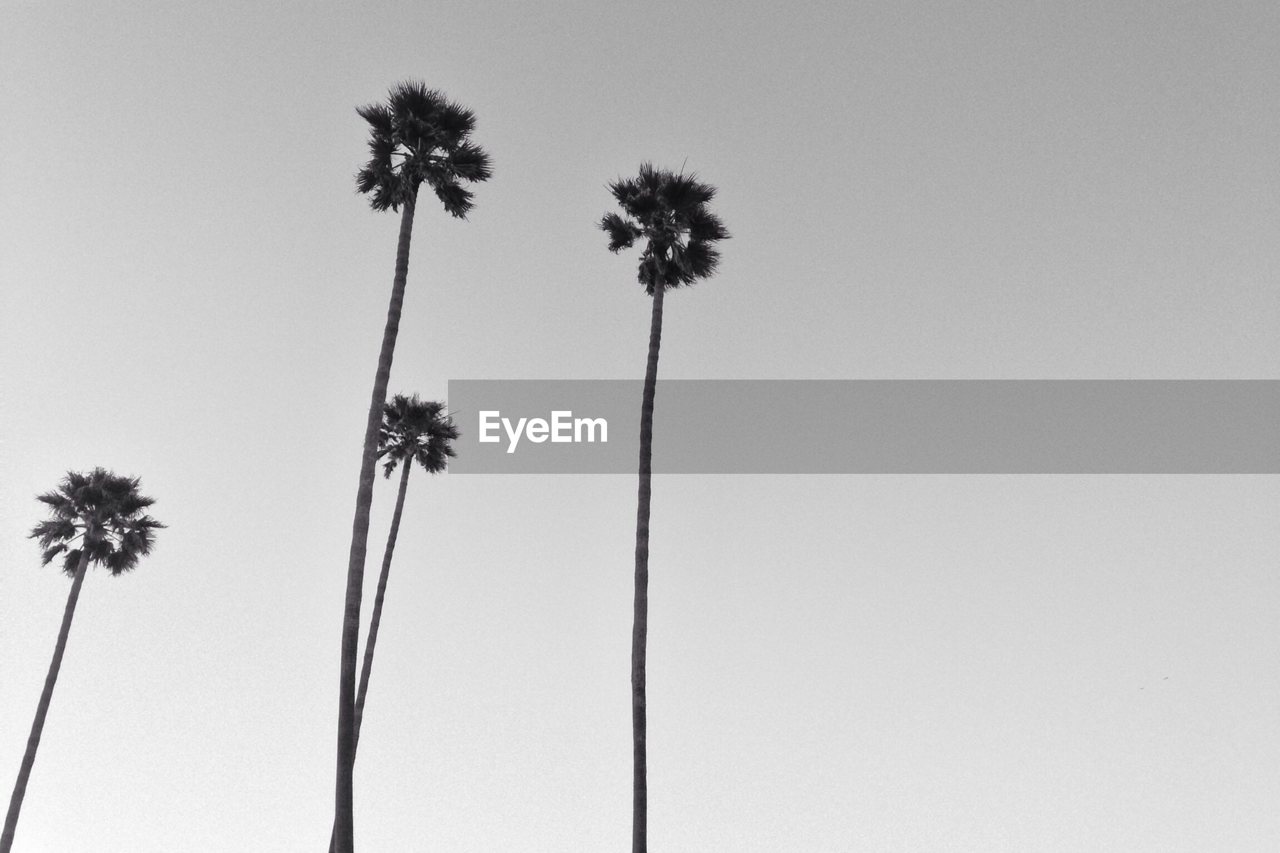 low angle view, clear sky, palm tree, growth, copy space, nature, tree, stem, beauty in nature, tranquility, tall - high, flower, sky, plant, no people, outdoors, day, tree trunk, silhouette, dandelion