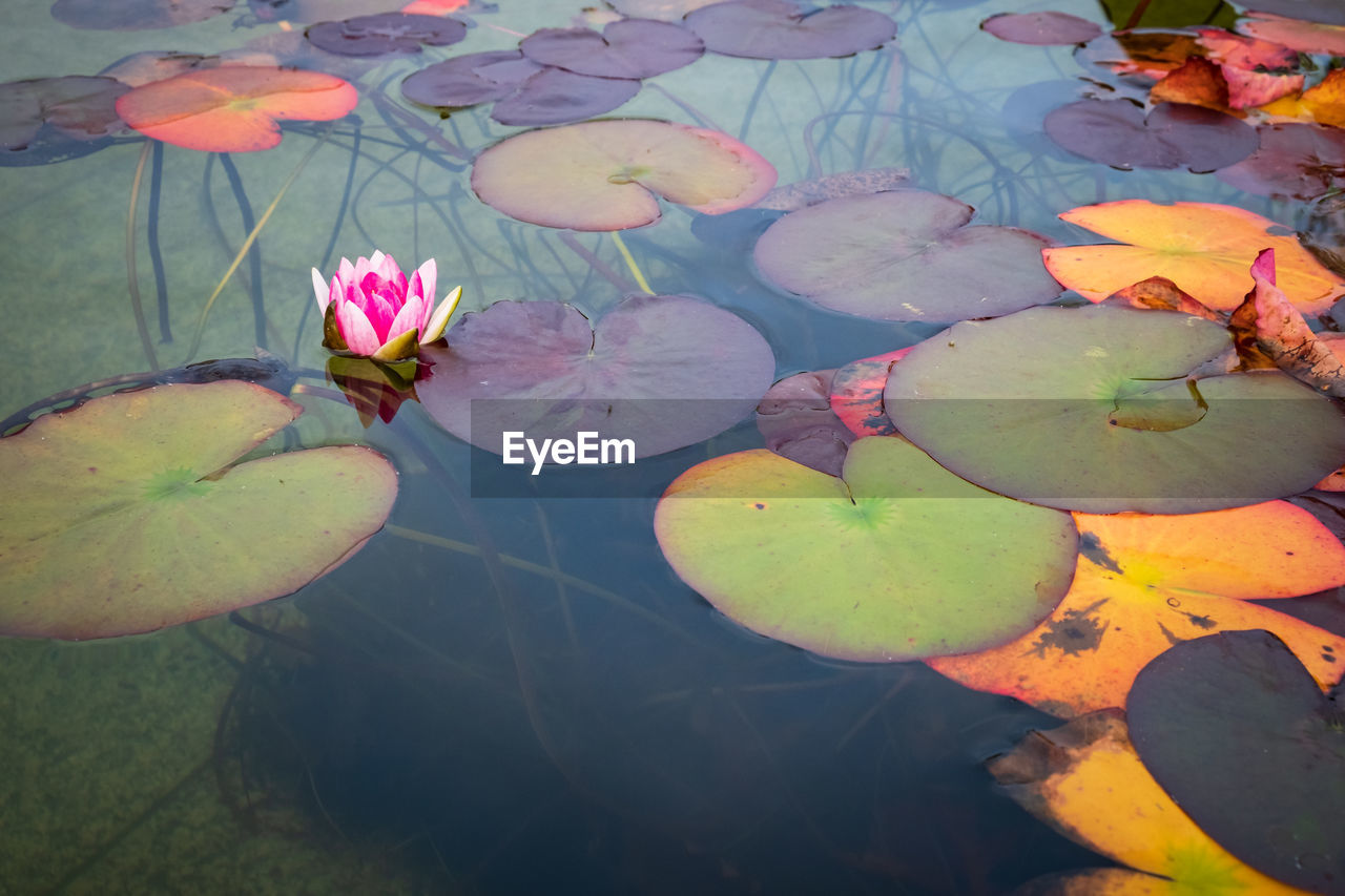 plant, flower, leaf, plant part, water lily, water, beauty in nature, flowering plant, lake, floating on water, floating, nature, growth, freshness, high angle view, no people, vulnerability, petal, outdoors, lotus water lily, leaves, flower head