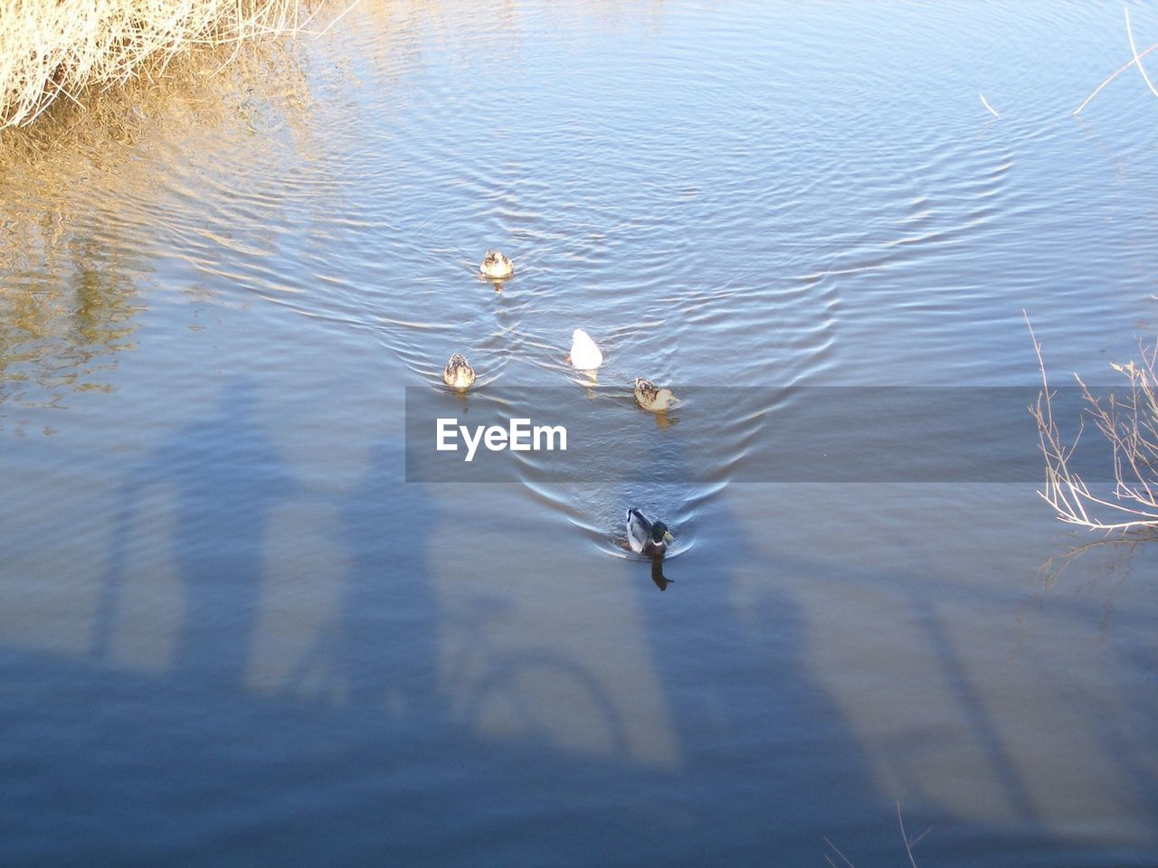High Angle View Of Ducks Swimming In Pond