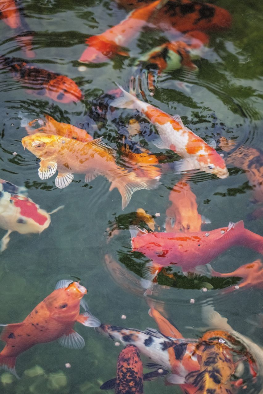 water, swimming, group of animals, fish, animal, vertebrate, animal themes, animals in the wild, large group of animals, animal wildlife, lake, koi carp, carp, underwater, sea life, marine, no people, school of fish, outdoors