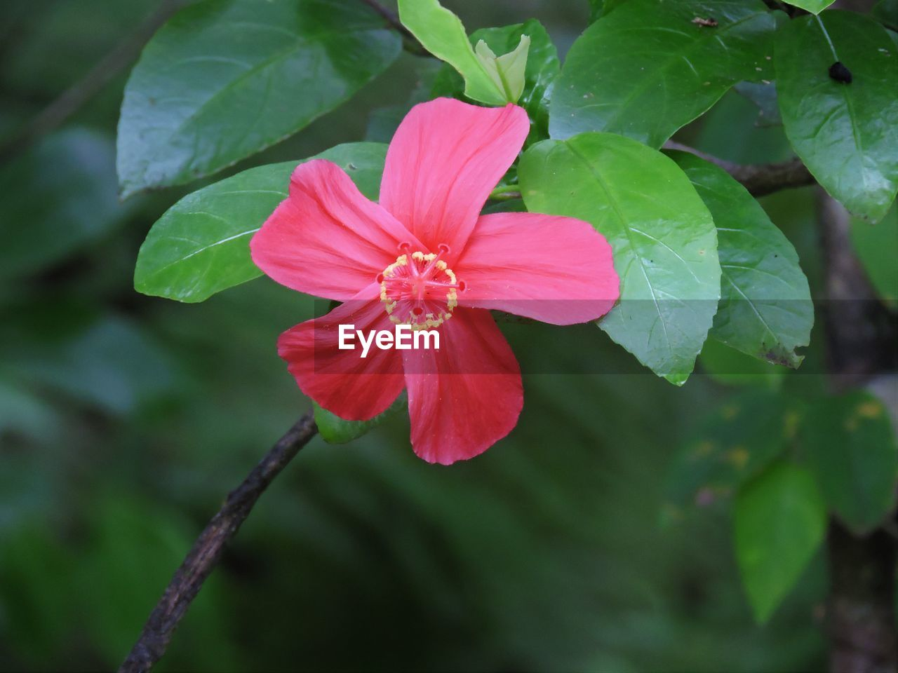 flower, petal, fragility, nature, growth, beauty in nature, flower head, freshness, leaf, plant, blooming, green color, close-up, day, outdoors, no people, pink color, periwinkle, hibiscus, zinnia