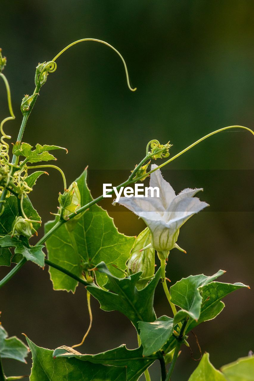 plant, plant part, leaf, growth, beauty in nature, flower, flowering plant, green color, fragility, close-up, vulnerability, nature, no people, focus on foreground, freshness, petal, plant stem, day, flower head, inflorescence, outdoors