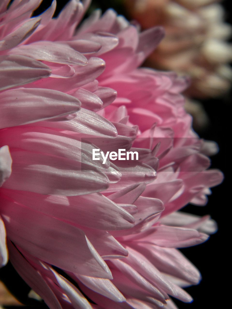 petal, flower, flower head, fragility, pink color, beauty in nature, nature, freshness, close-up, no people, rose - flower, growth, outdoors, day, blooming