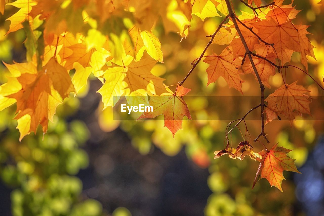 plant part, leaf, autumn, change, plant, tree, branch, nature, growth, close-up, focus on foreground, leaves, no people, day, beauty in nature, maple leaf, orange color, selective focus, yellow, outdoors, maple tree, autumn collection, natural condition, fall