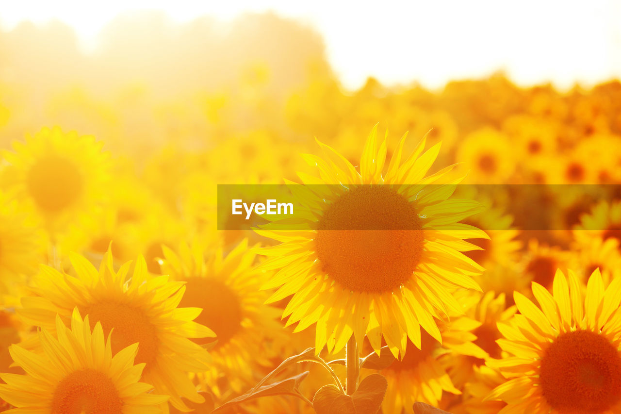 flower, freshness, yellow, nature, beauty in nature, fragility, flower head, growth, petal, close-up, plant, field, sunflower, no people, outdoors, blooming, springtime, day