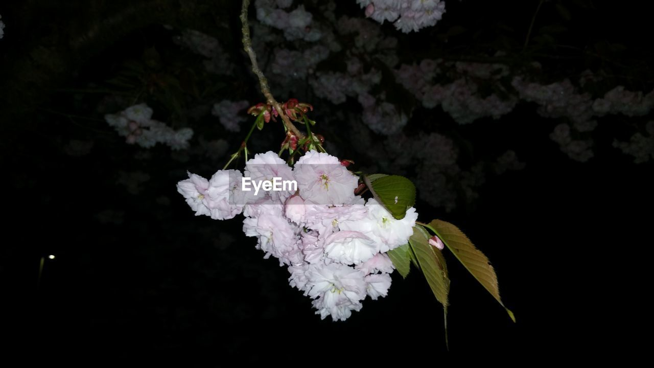 flower, flowering plant, plant, fragility, beauty in nature, vulnerability, freshness, growth, blossom, nature, close-up, white color, outdoors, inflorescence, no people, petal, flower head, botany, springtime, day, spring, cherry blossom, softness, cherry tree
