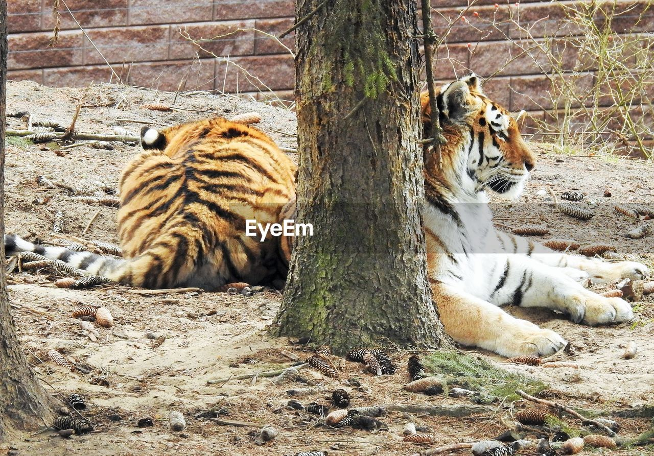mammal, animal, animal themes, feline, cat, tree, big cat, relaxation, no people, carnivora, animal wildlife, animals in the wild, nature, vertebrate, tiger, day, tree trunk, group of animals, trunk, zoo, outdoors