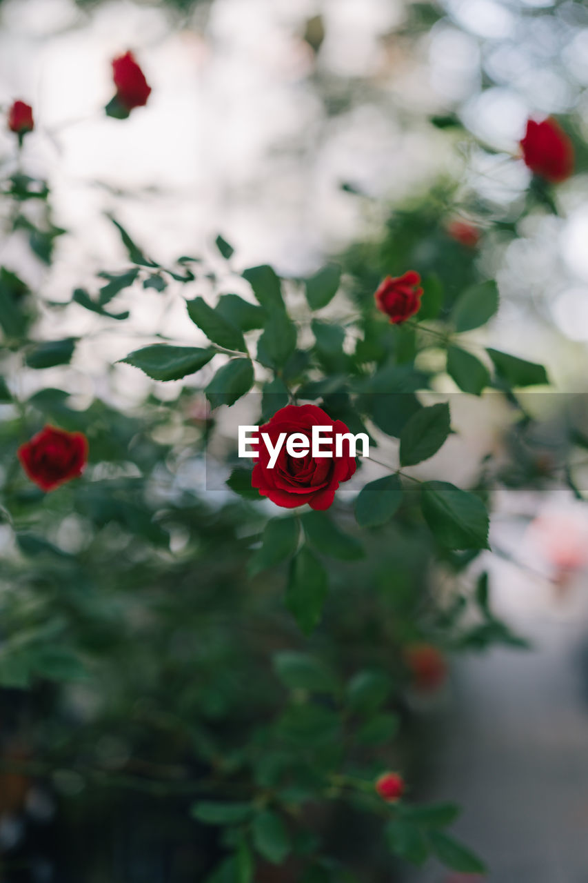 flower, flowering plant, plant, beauty in nature, rose, freshness, vulnerability, fragility, rose - flower, red, petal, flower head, inflorescence, nature, close-up, focus on foreground, growth, day, no people, outdoors