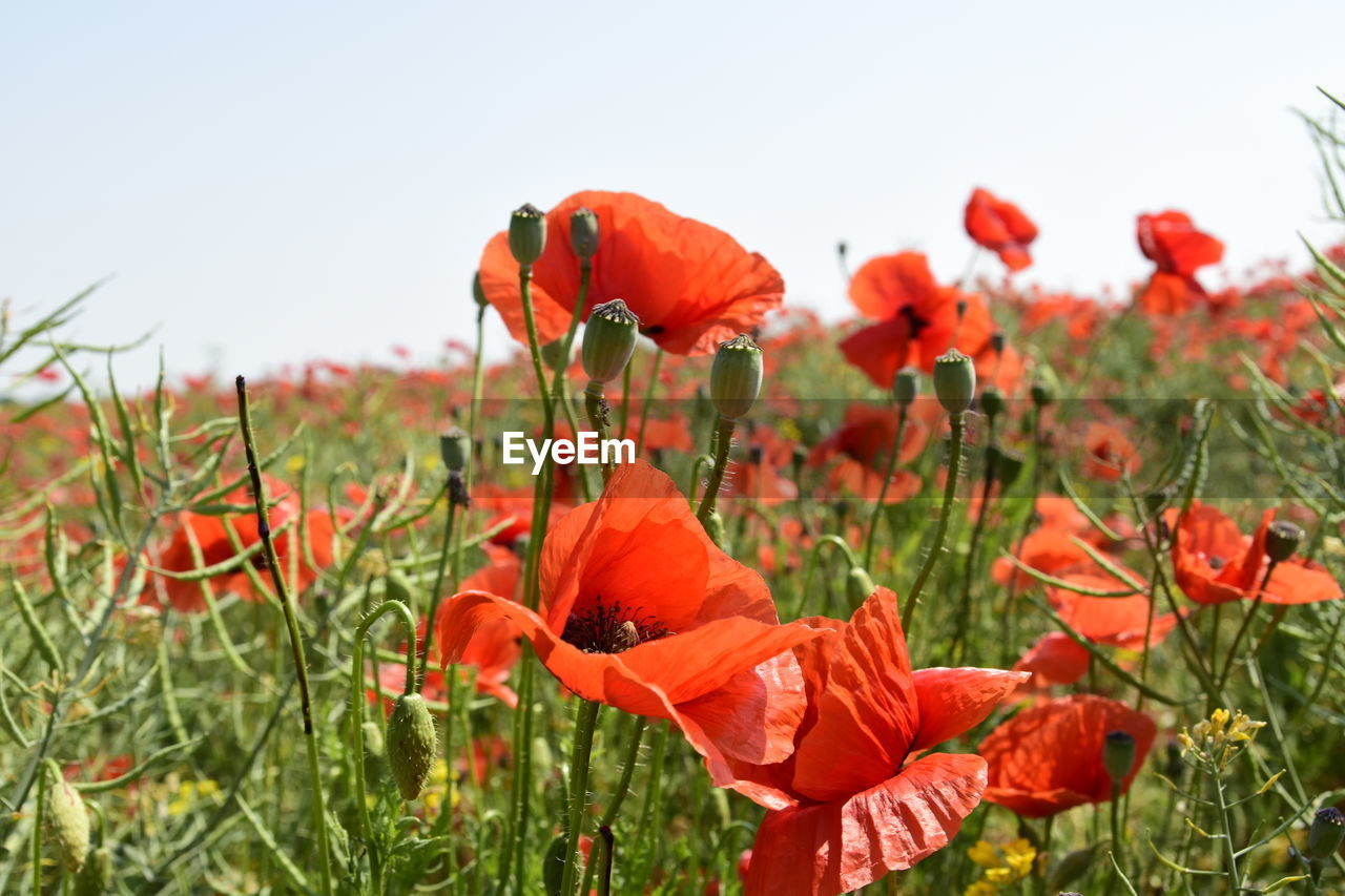 CLOSE-UP OF RED POPPY FLOWERS