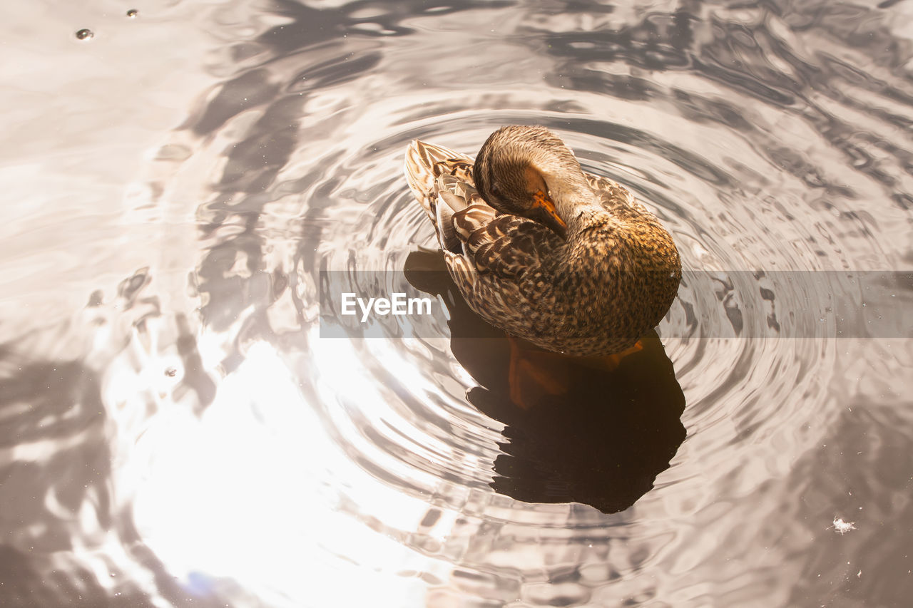 HIGH ANGLE VIEW OF A DUCK IN LAKE