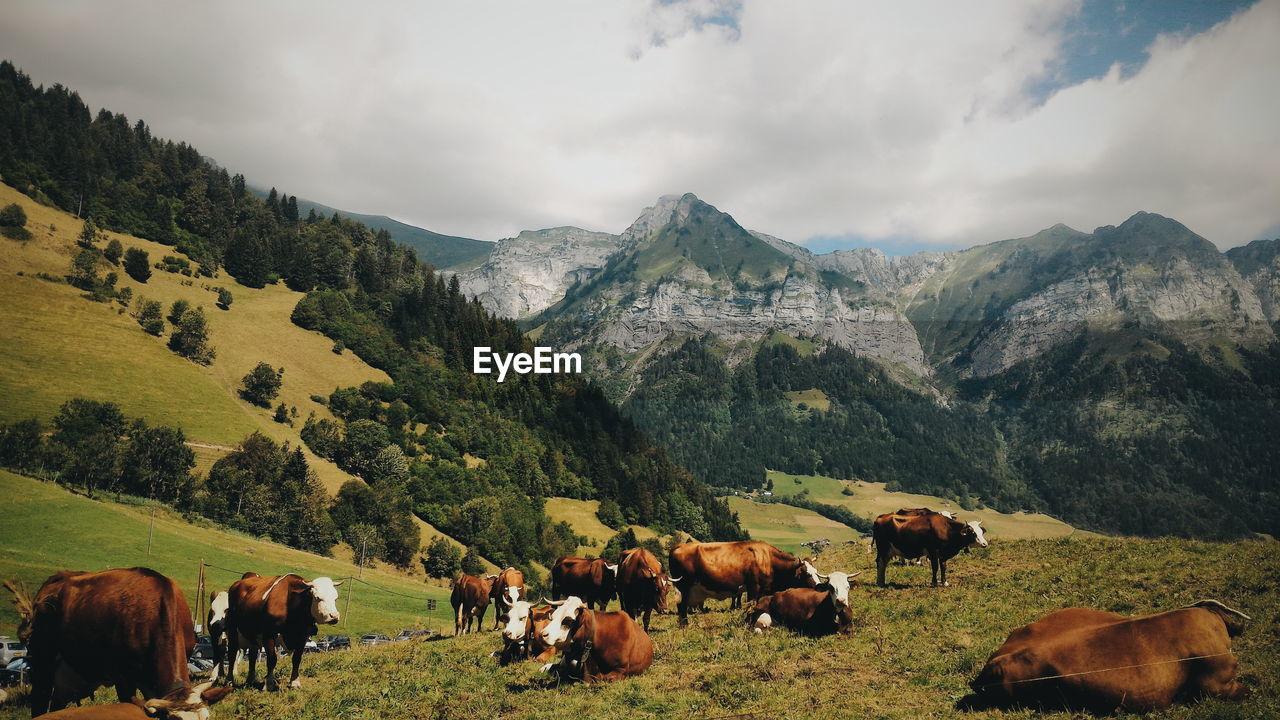 Cattle Grazing In Field