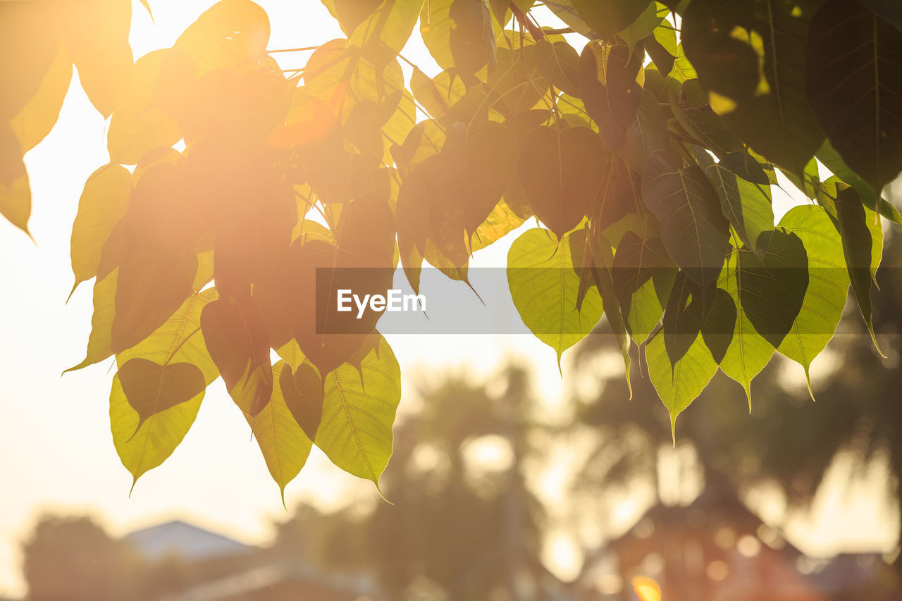 leaf, growth, plant, plant part, no people, nature, tree, fruit, beauty in nature, close-up, freshness, healthy eating, focus on foreground, sunlight, food and drink, day, food, yellow, branch, outdoors, ripe