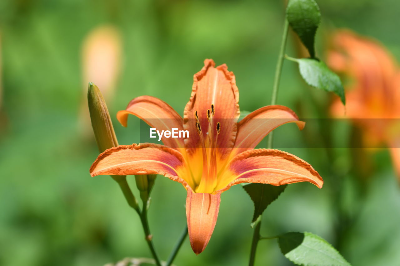 flower, flowering plant, fragility, petal, plant, beauty in nature, vulnerability, flower head, inflorescence, close-up, growth, freshness, lily, focus on foreground, botany, pollen, orange color, day lily, day, no people, outdoors