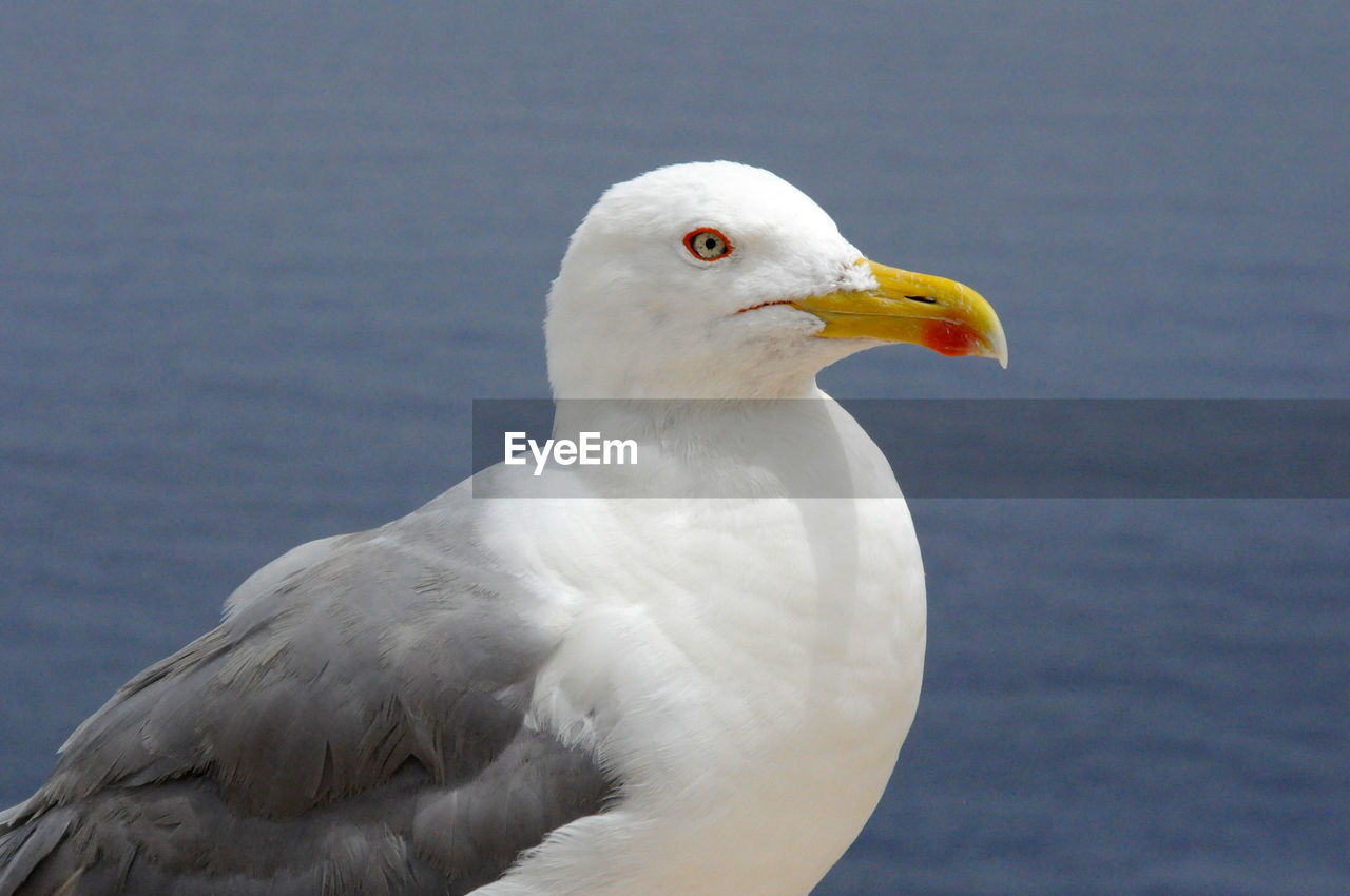 bird, animal themes, one animal, vertebrate, animal, animals in the wild, animal wildlife, seagull, white color, close-up, focus on foreground, sea bird, no people, beak, nature, day, outdoors, water, looking, portrait, animal head, eagle, animal eye