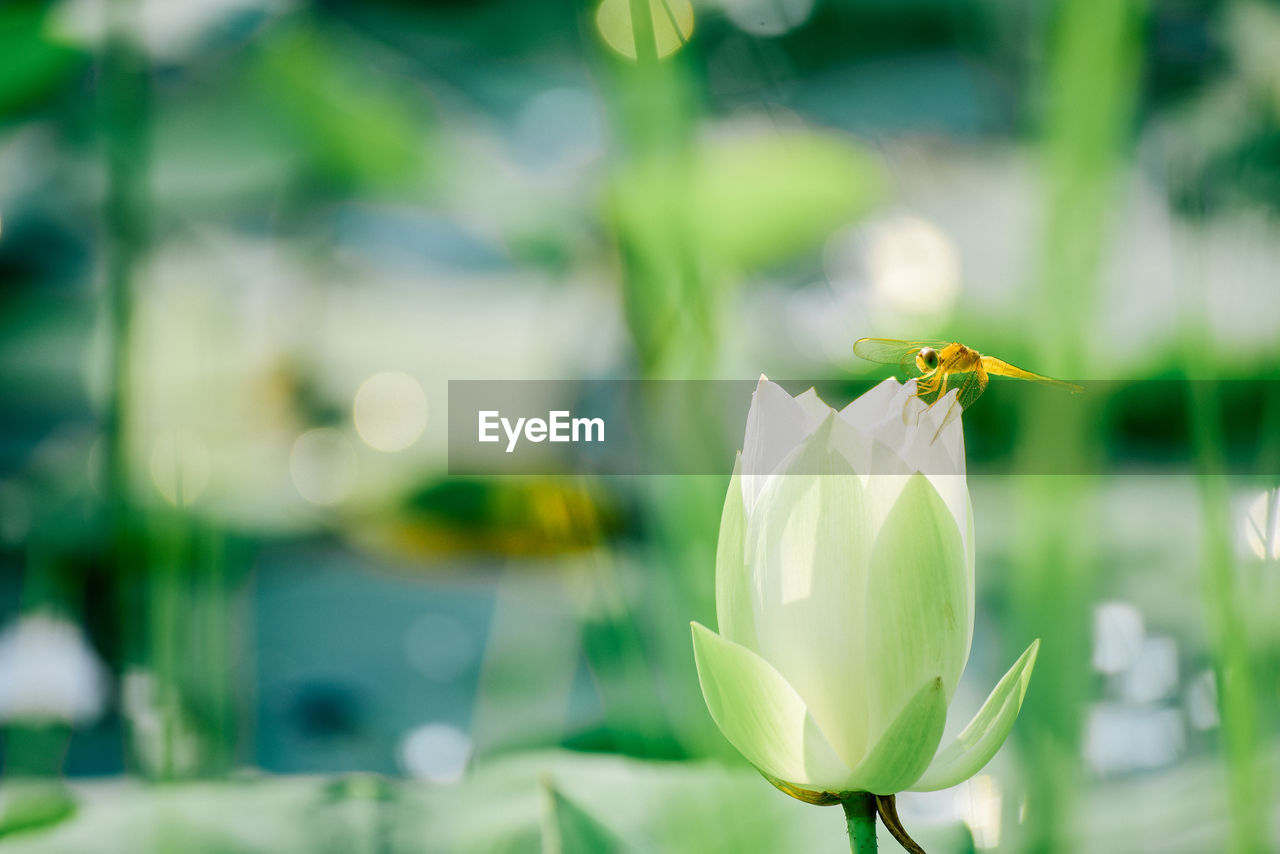 flowering plant, flower, beauty in nature, fragility, vulnerability, petal, plant, close-up, one animal, freshness, animal themes, animal, focus on foreground, flower head, animal wildlife, animals in the wild, insect, invertebrate, white color, growth, no people