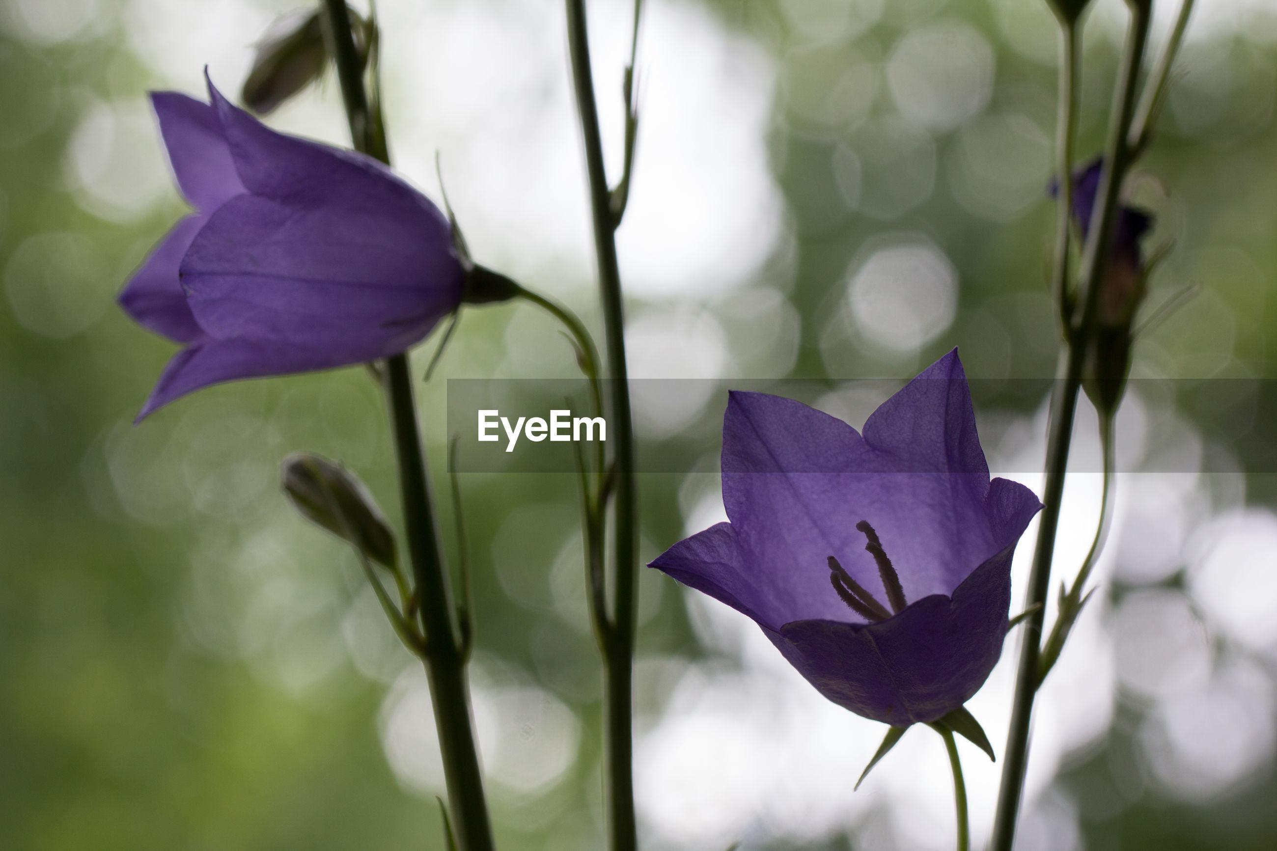 CLOSE-UP OF PURPLE IRIS FLOWER GROWING OUTDOORS