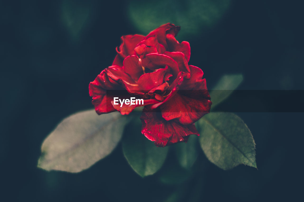 flower, flowering plant, beauty in nature, red, petal, vulnerability, fragility, plant, freshness, flower head, rose, inflorescence, close-up, rose - flower, nature, plant part, leaf, growth, no people, outdoors
