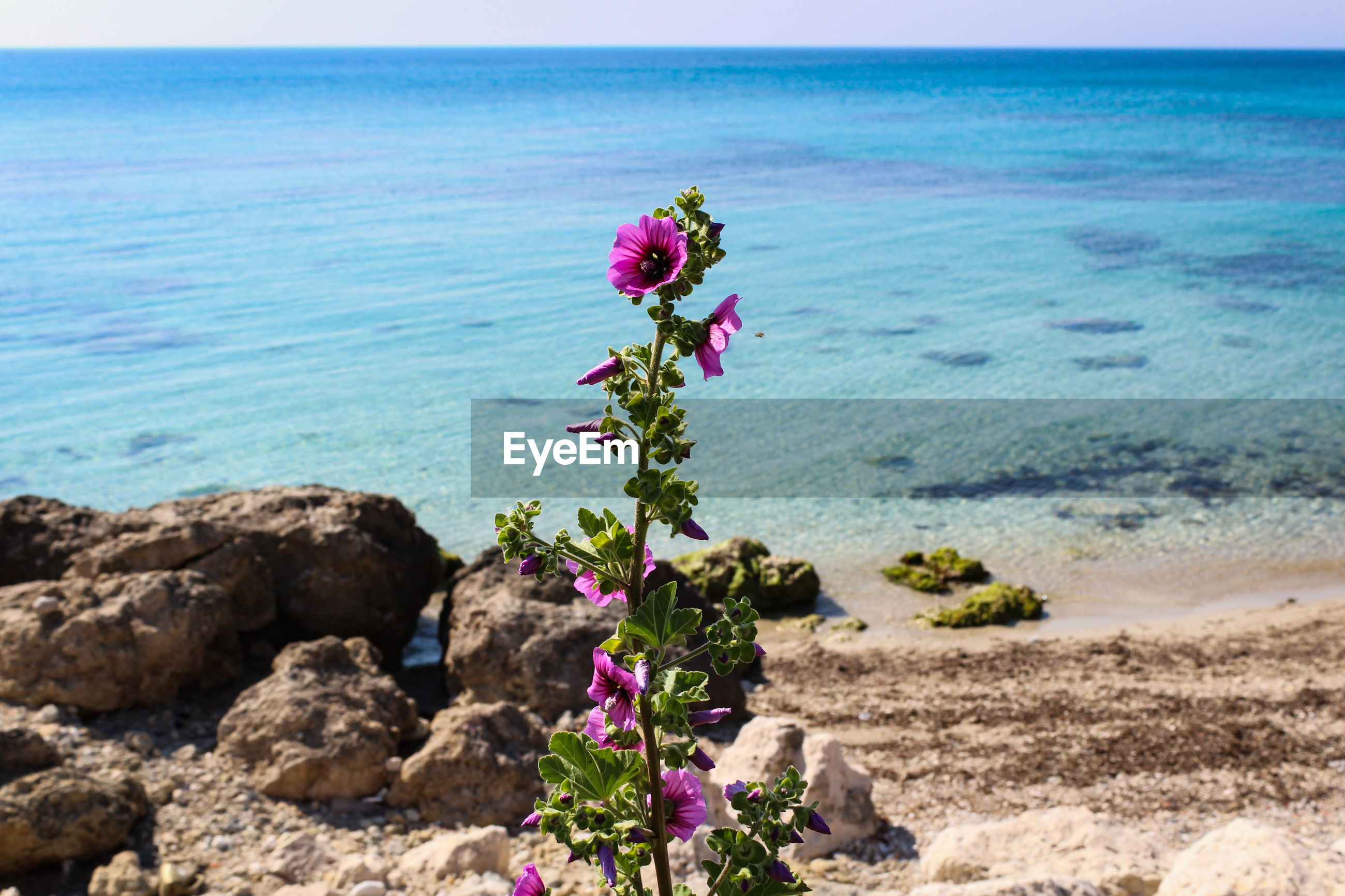 Flowering Plant Flower Beauty In Nature Sea Plant Water Nature Horizon Over Water Horizon Land Beach Freshness Tranquility Tranquil Scene Scenics - Nature Vulnerability  Sky Fragility No People Flower Head Outdoors Purple Salento Puglia Italy Wildflower