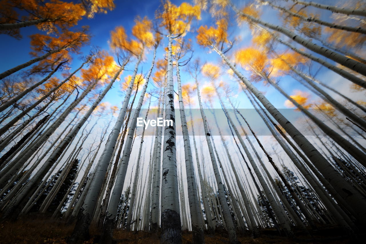 LOW ANGLE VIEW OF TALL TREES AGAINST BLURRED BACKGROUND