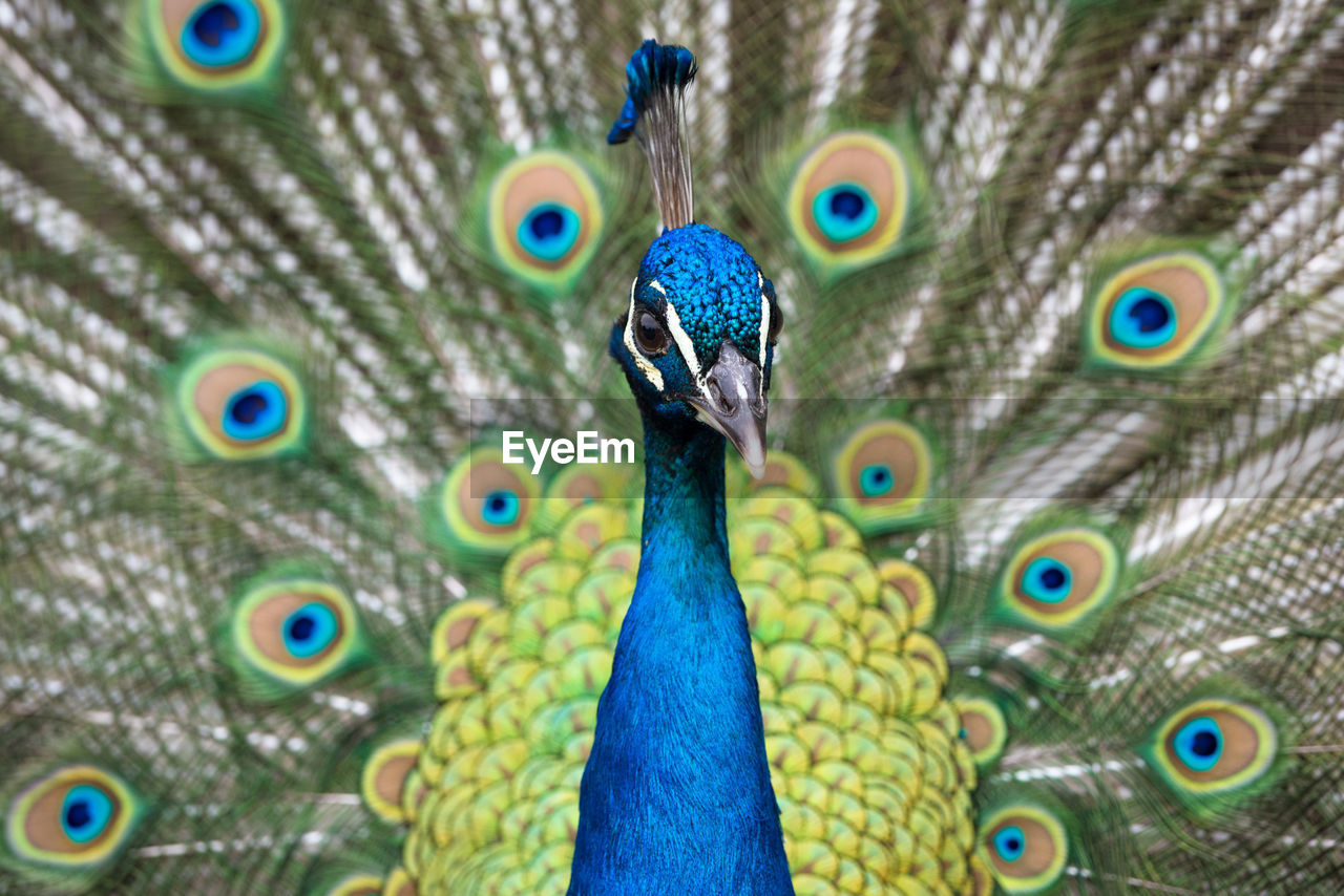 peacock, bird, animal themes, animal, vertebrate, peacock feather, one animal, animal wildlife, animals in the wild, feather, close-up, blue, no people, fanned out, beauty in nature, animal body part, day, animal head, animal's crest, nature, outdoors, beak, animal neck, animal eye