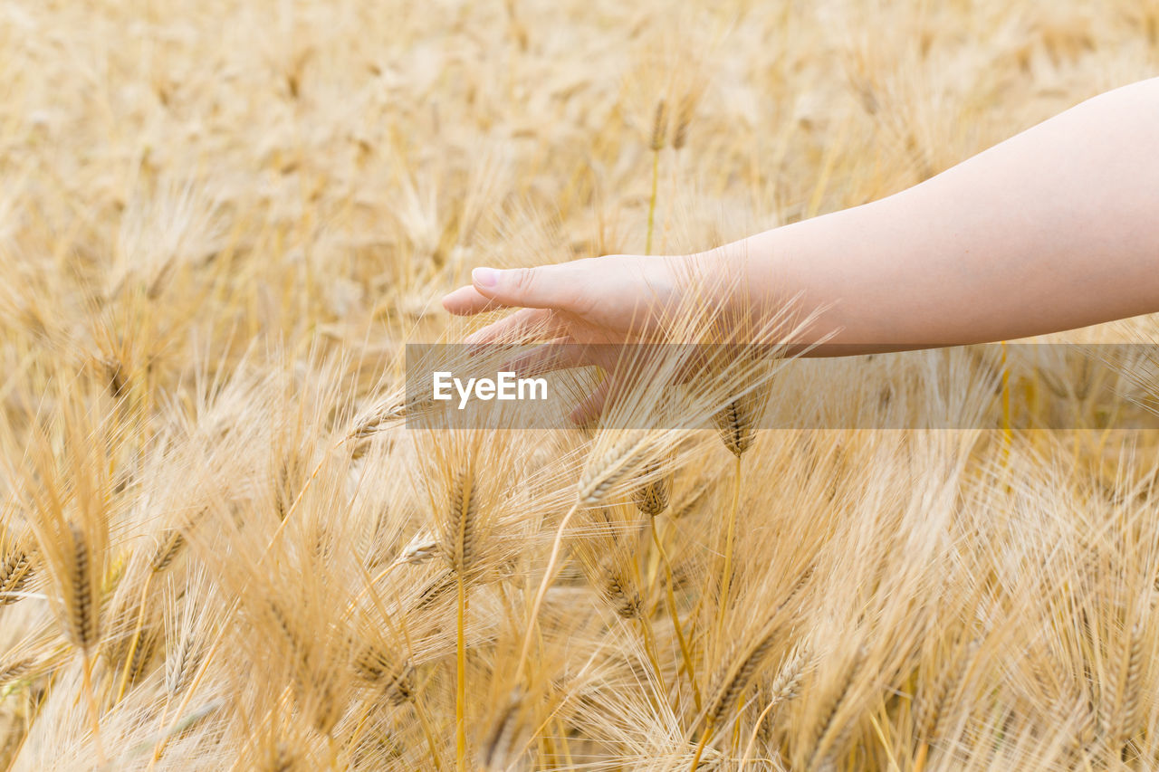 human hand, human body part, hand, crop, cereal plant, agriculture, plant, rural scene, one person, wheat, field, nature, body part, farm, touching, land, finger, landscape, human finger, outdoors, ripe