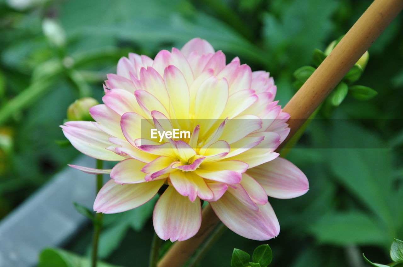 flower, flowering plant, plant, vulnerability, fragility, beauty in nature, freshness, petal, close-up, growth, flower head, inflorescence, pink color, nature, focus on foreground, day, plant part, leaf, no people, yellow, outdoors, purple