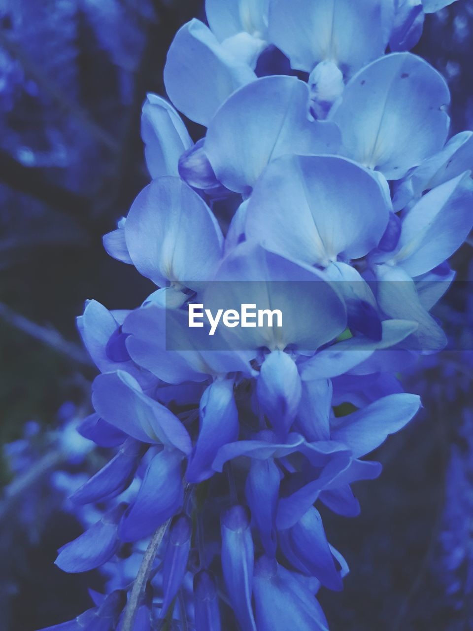 flowering plant, flower, beauty in nature, petal, fragility, vulnerability, plant, close-up, inflorescence, freshness, flower head, growth, nature, no people, purple, focus on foreground, blue, day, outdoors, botany, bunch of flowers