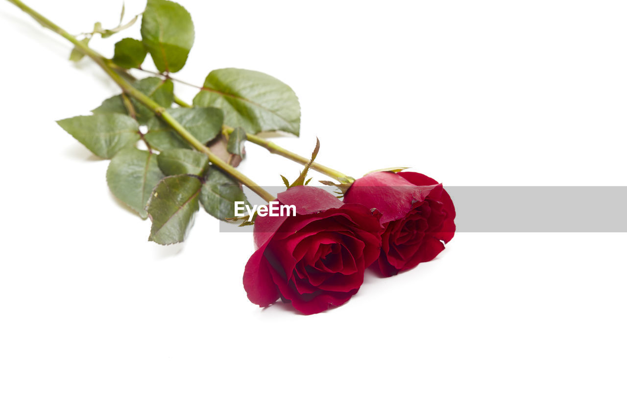 Close-up of roses against white background