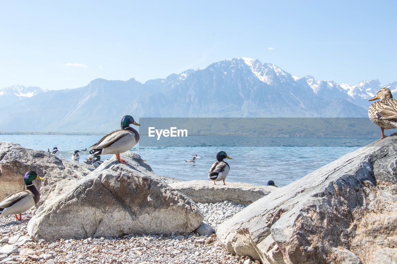 Birds Perching On Rock By Sea Against Clear Sky