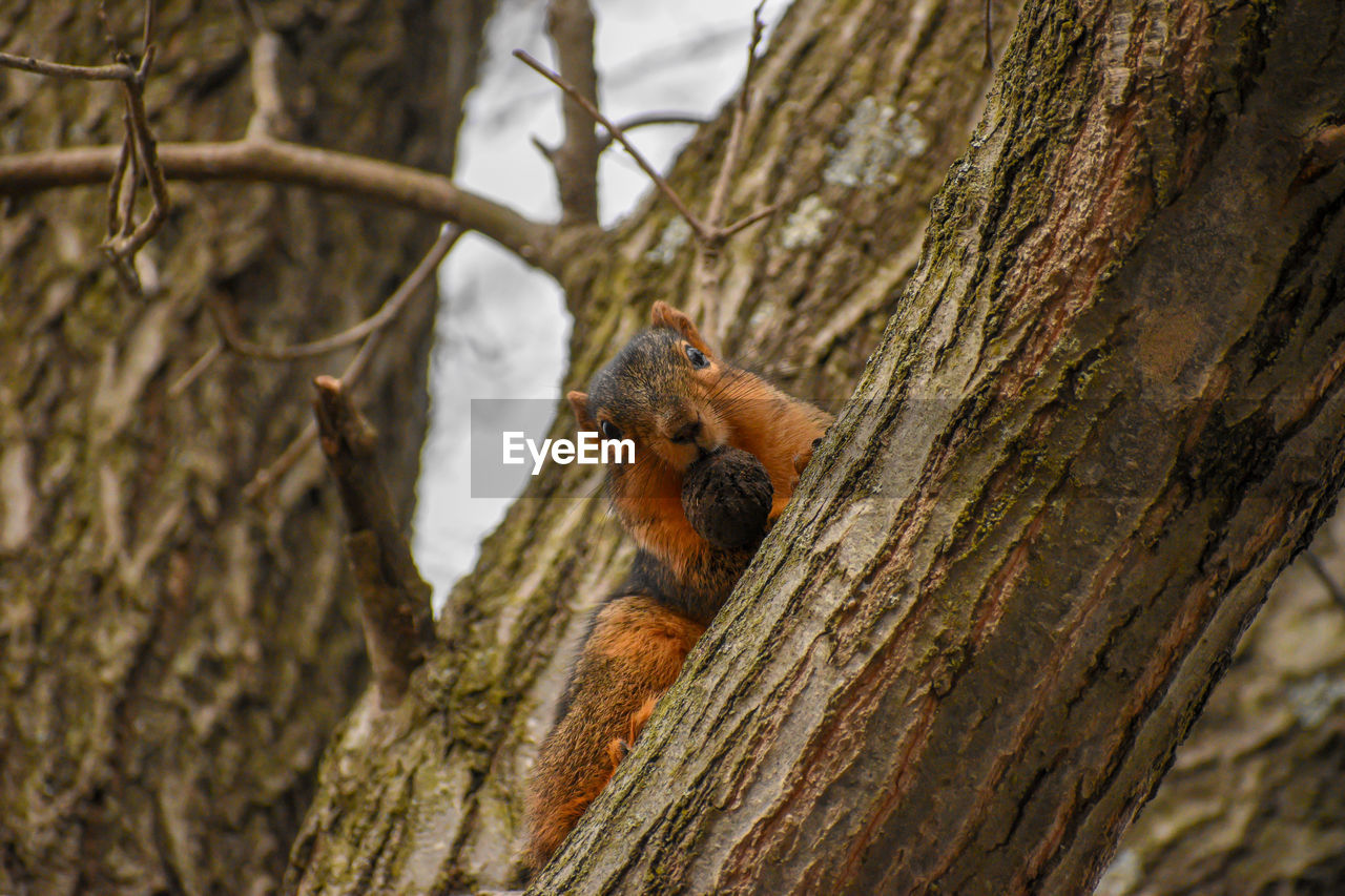 tree, animal themes, animal wildlife, animal, animals in the wild, mammal, one animal, tree trunk, trunk, plant, branch, squirrel, nature, no people, rodent, day, focus on foreground, vertebrate, outdoors, selective focus