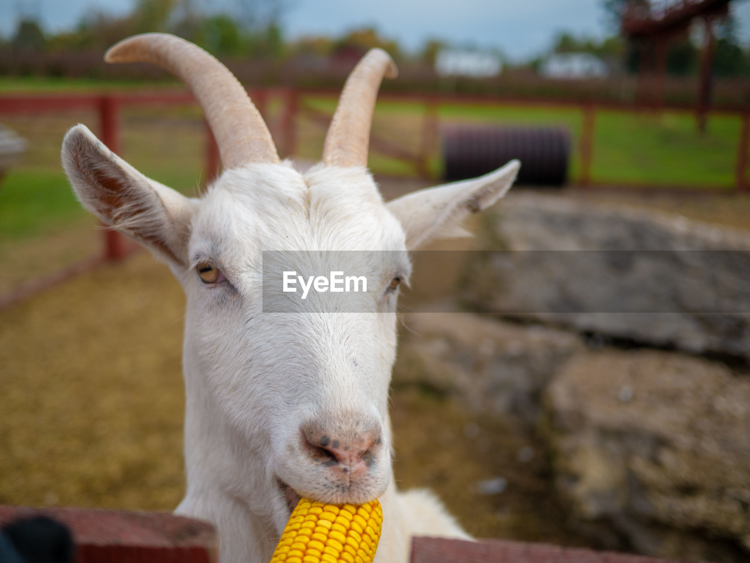 Close-up of white goat