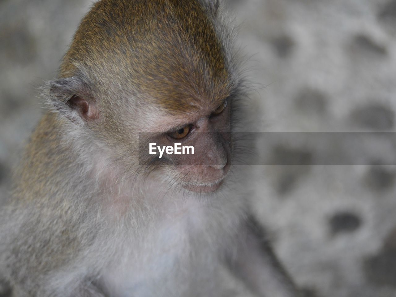 animal themes, animal, monkey, primate, animal wildlife, mammal, one animal, animals in the wild, vertebrate, focus on foreground, looking away, no people, looking, close-up, animal hair, day, outdoors, animal head, care, baboon