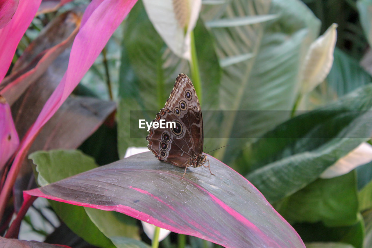 Close-up of butterfly pollinating on red leaf