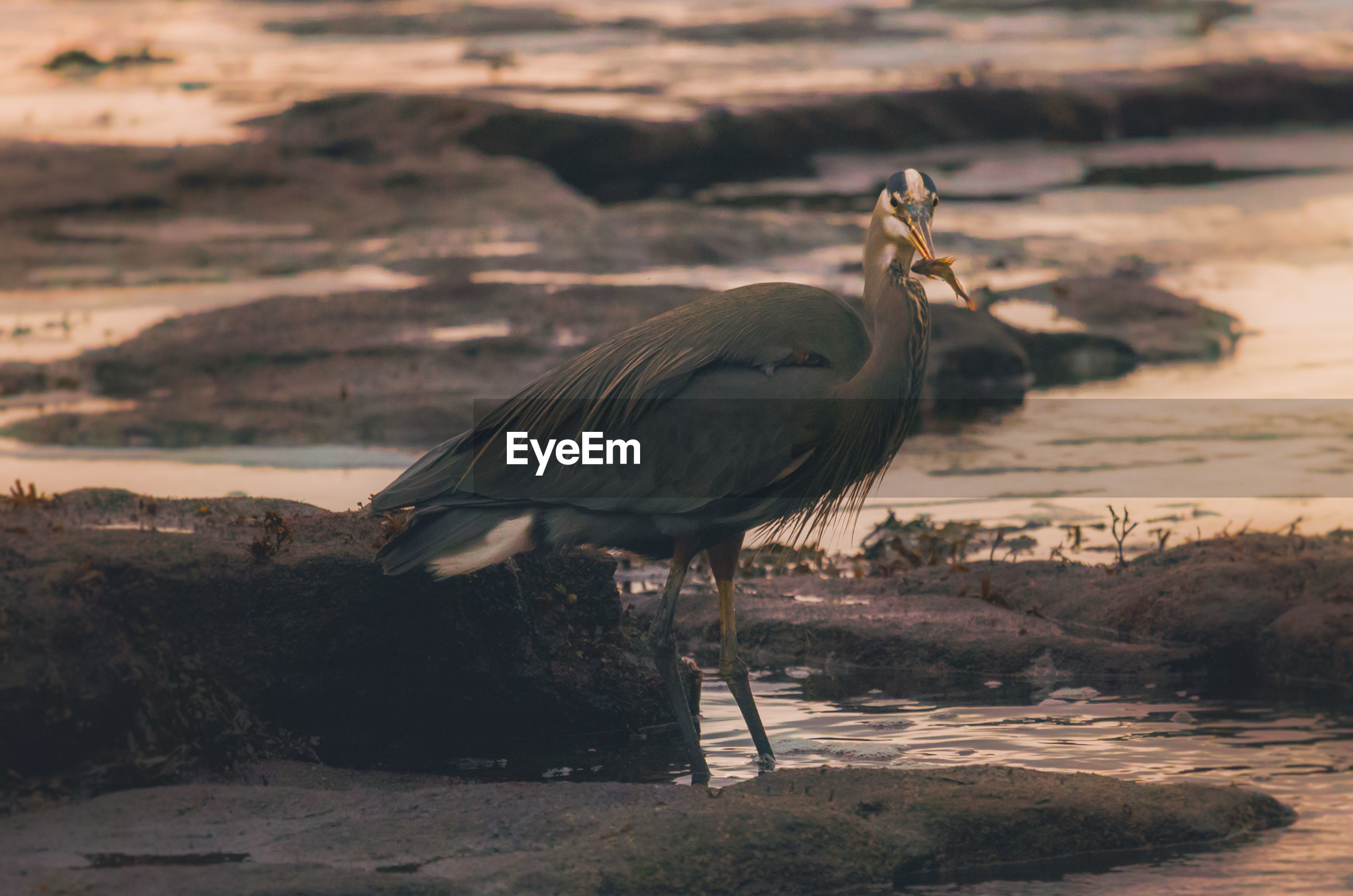 Gray heron on shore